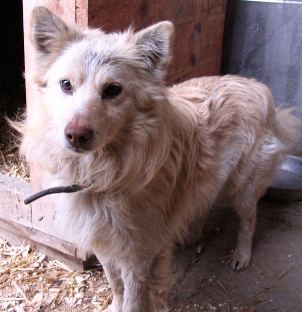 ZNALEZIONO psa- kremowy, dłuższy włos, brązowy nos